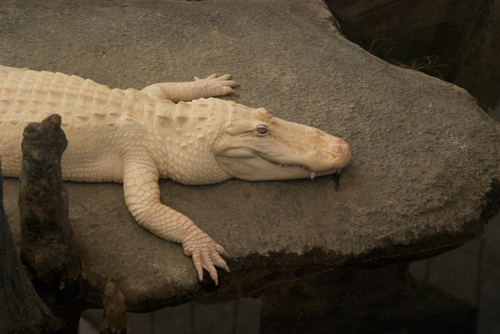 The albino alligator