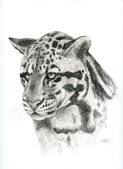 Clouded Leopard Drawings New Clouded Leopard Drawing