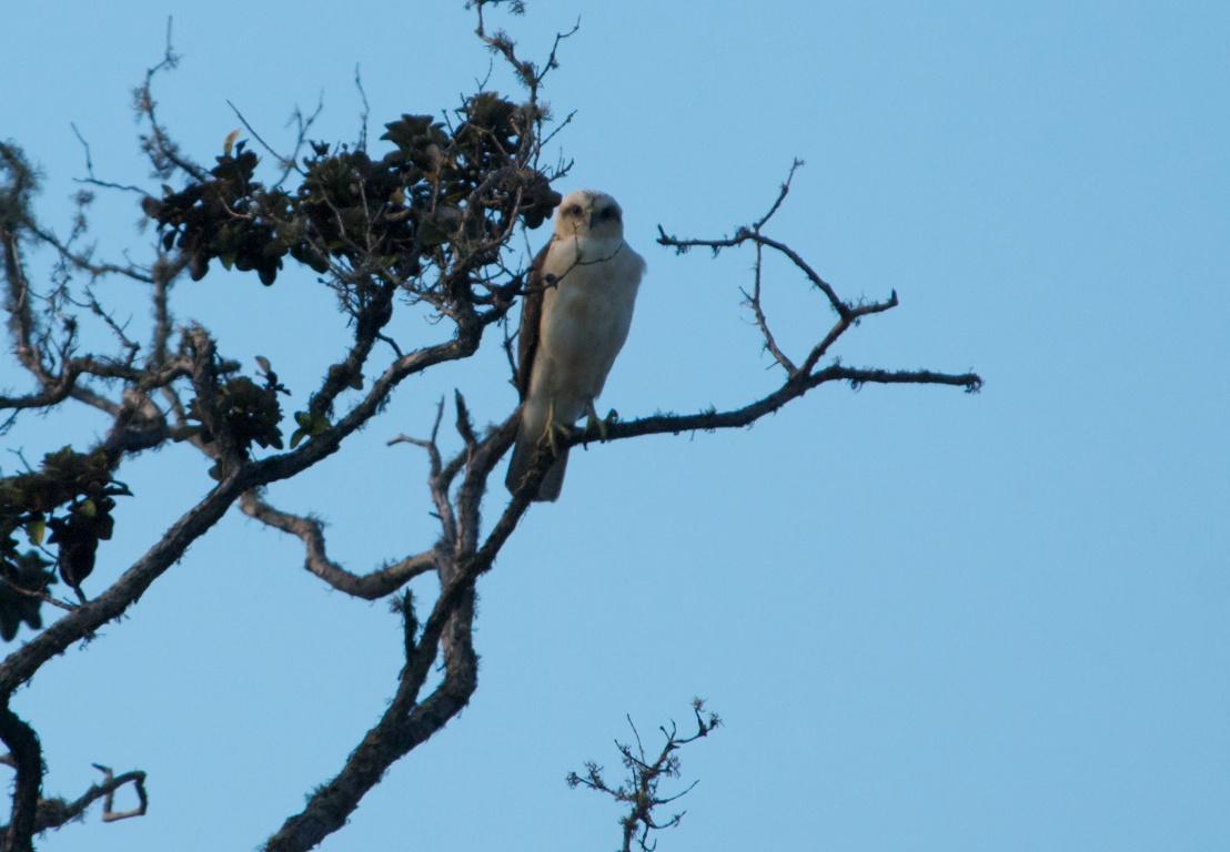 Desert Hawk Animal Hawaiian Hawk  Juvenile