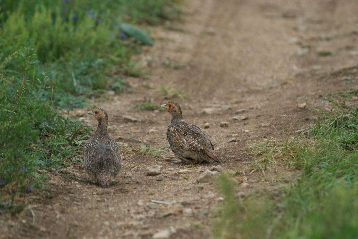 These darian partridges were a new species for me