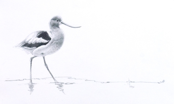 "Avocet 8 5/8""x13 7/8"" graphite on vellum bristol"