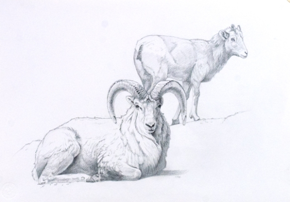 "Dall Sheep Ram and Ewe 11x16"" graphite on vellum bristol"