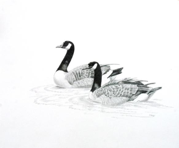 "Canada Geese 14x16 7/8"" graphite on vellum bristol"