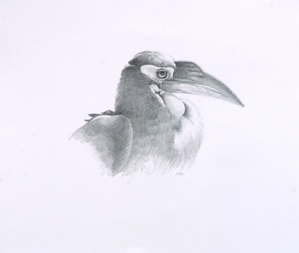 "Ground Hornbill 14x16 7/8"" graphite on vellum bristol"