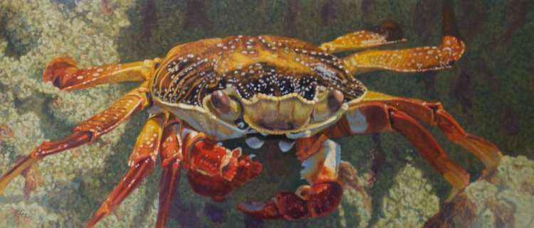 """Up Close-Sally Lightfoot Crab""  20x46""  oil"