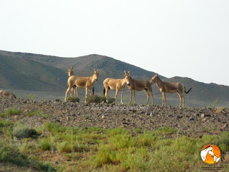 Khulan/Mongolian wild ass- photo by Anne-Camille Souris, President of Association Goviin Khulan
