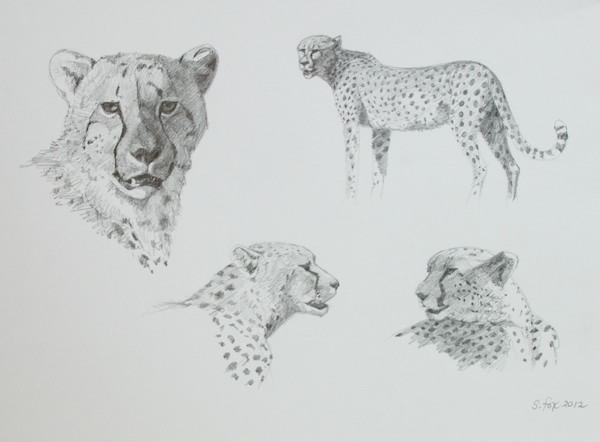 how to draw cheetah spots