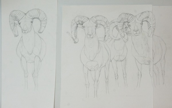Graphite drawing; this was the third one and felt that I didn't need to go all the way to the same point. It was more important to get all the size and position relationships between the rams correct. The one in the back looked very odd in the reference photo, so I changed out his head for a profile instead of three quarters view