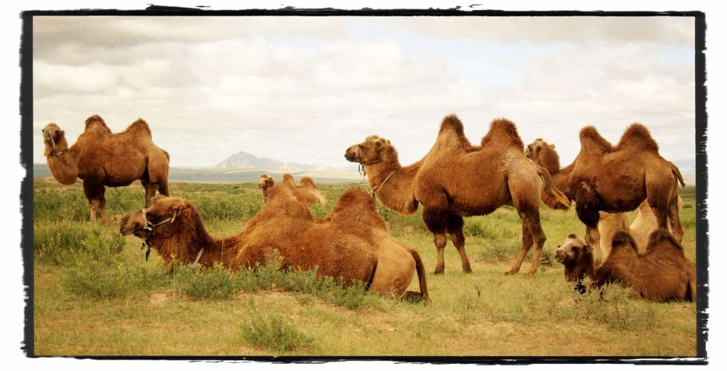 Bactrian camels with Zurgul Uul in the background, Bayan Onguul soum