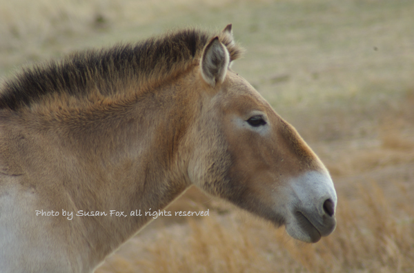 Takhi stallion, April 2005- This was from my first trip to Mongolia in spring of 2005. It was freezing cold, literally, and it was very windy. But I was enchanted with my first look at the world's only true wild horse running free (I'd seen them for the very first time at the Berlin Zoo in October 2004). To me, this head shot sums up what they are about...a very special horse that looks like it just stepped out of a cave painting.