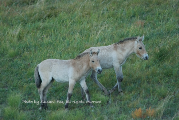 Takhi foals, September 2008. I always look forward to seeing the new generation when I visit Hustai and of course the foals are fun to watch as they romp around and play. There are now around 300 takhi in Hustai and they are doing well.