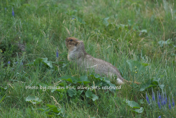 Siberian marmot