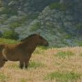 Hustai-Stallion