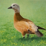 Ruddy Shelduck  oil  12x12""