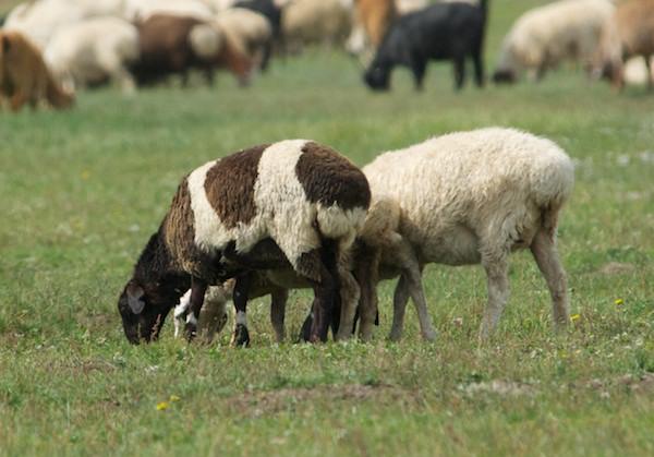 sheep 5