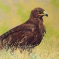 Steppe-Eagle,-Jalman-Meadows