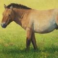 Takhi-Stallion,-Hustai-National-Park
