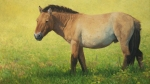 "Takhi Stallion, Hustai National Park  oil  17x30"" Accepted into ""Salon International"" 2012 (collection of the artist)"