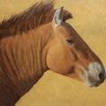 Takhi-Stallion,-Hustai