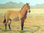 "Takhiin Tal Stallion   oil  18x24""  $3000 Accepted into ""Art and the Animal"" 2016"