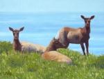 """3 Tule Elk, Pt. Reyes 8x10""""  oil  $400"""