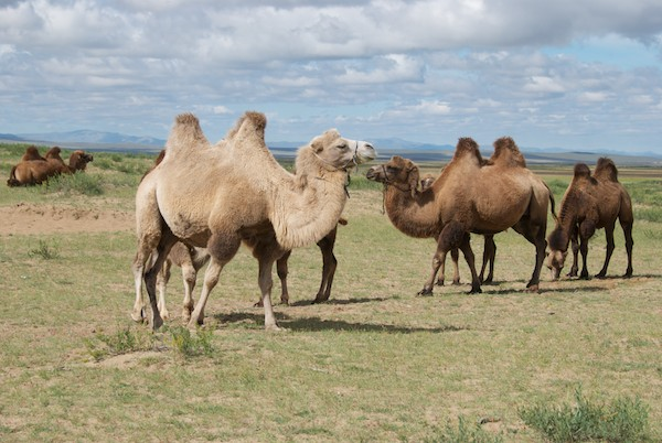 Bactrian camels, including my model, at Arburd Sands