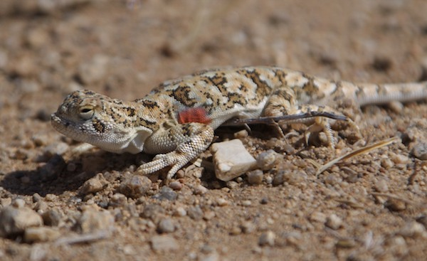 Toad-headed agama lizard (Phrynocephalus versicolor)