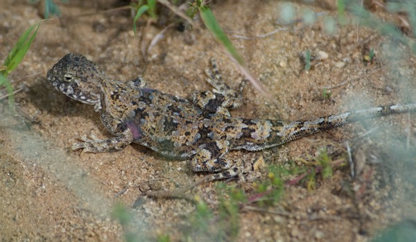 Toad-headed agama