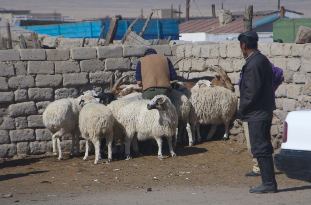 Sheep for sale in Hovd, western Mongolia, 2006