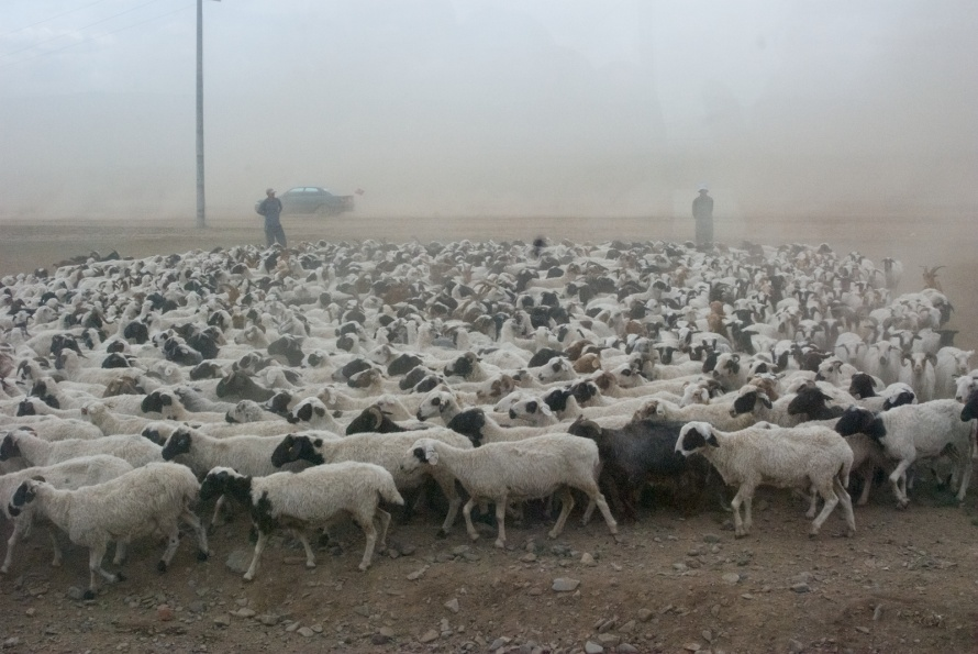 Sheep for sale by the road during the National Naadam, 2009