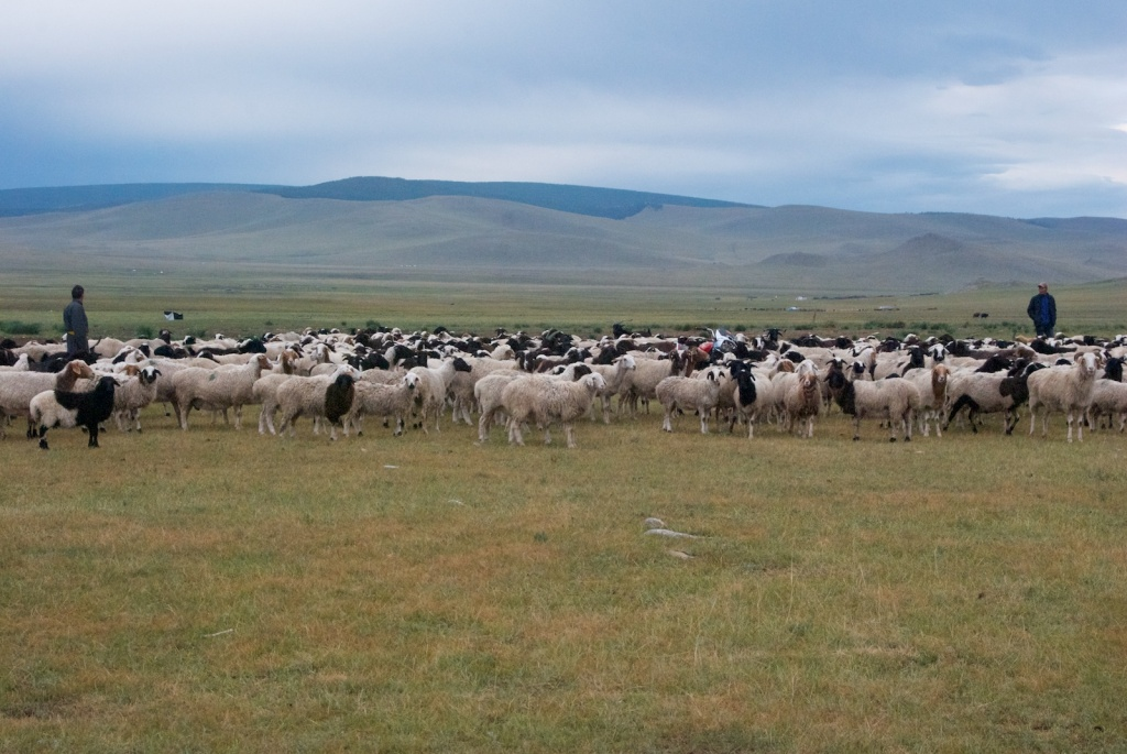 Flock of sheep and goats, at my driver's ger in the mountains north of Tsetserleg, 2011