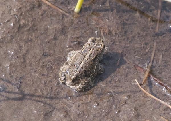 Mongolian toad, Gun-Galuut