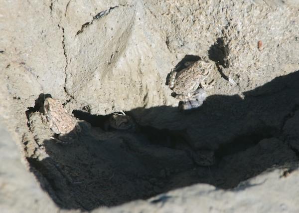 Mongolian toad (Pseudepidalea raddei)