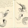 Argali and ibex horns