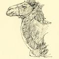 Bactrian camel detail