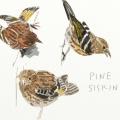 3 Pine siskins