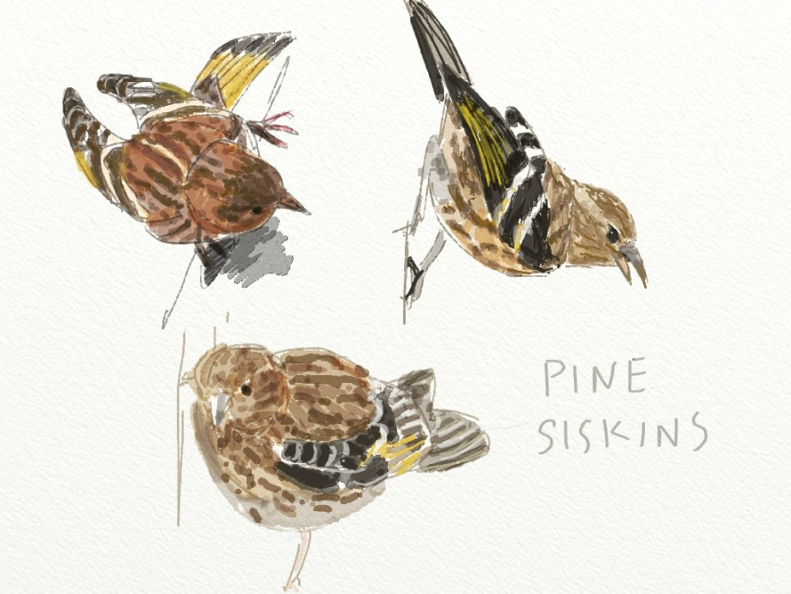 Pine siskins