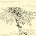 Cinereous vulture nest