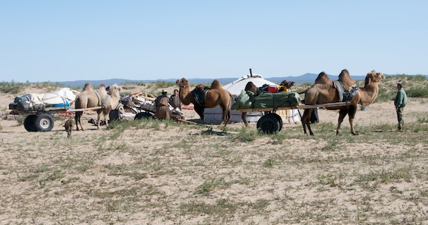 These days, tour companies like the one I work with, Nomadic Journeys, uses camels for cross-country trekking trips.