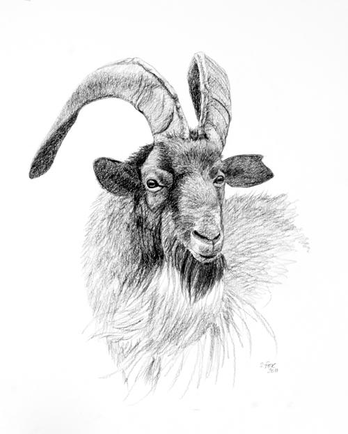 Cashmere goat,  graphite on vellum bristol