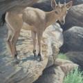 Rocky Perch Siberian Ibex Kid