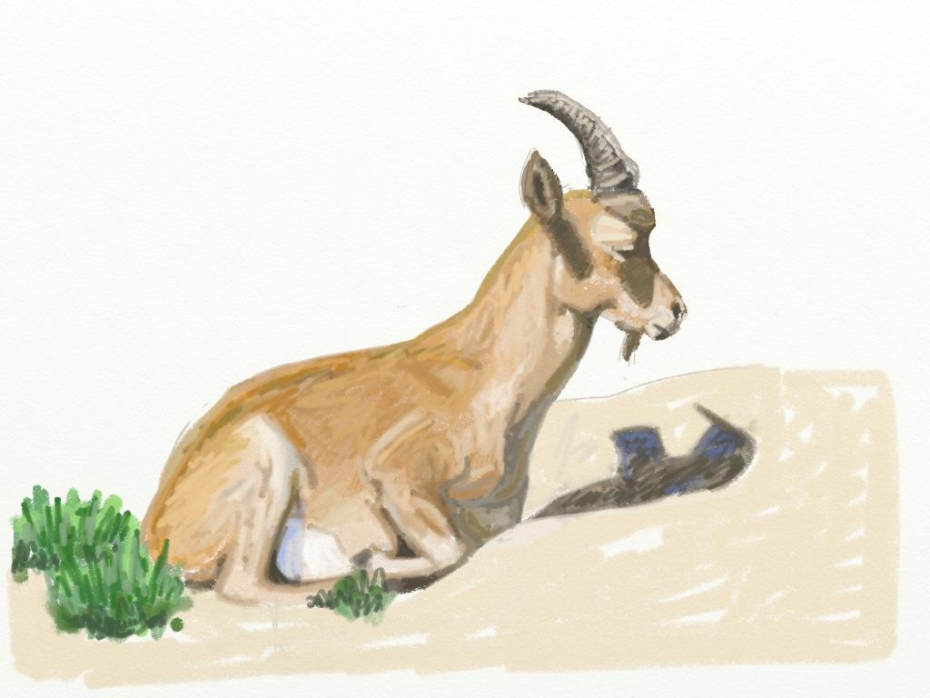 Resting ibex