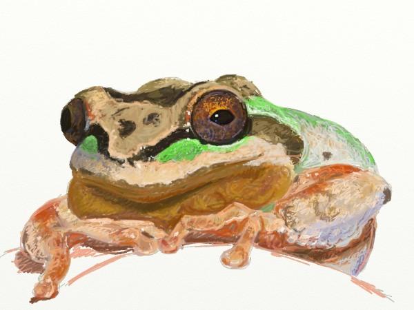 Pacific Tree Frog  ArtRage iPad 3