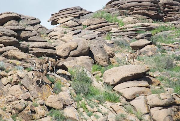Ibex group at Ikh Nartiin Chuluu
