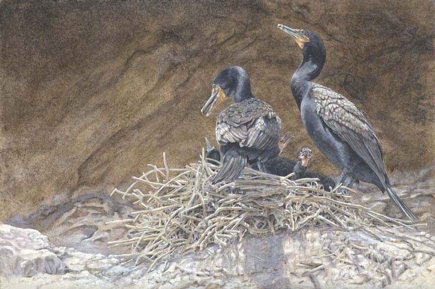 Canyon Light: Double-crested Cormorants at the Nest Acrylic on Clayboard
