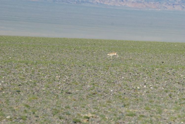 Saiga antelope, Sharga, Mongolia, Sept. 2013