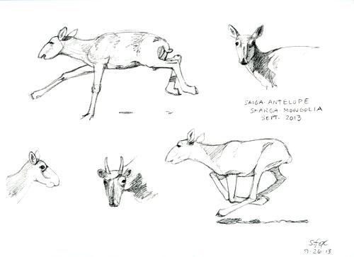 saiga antelope drawings