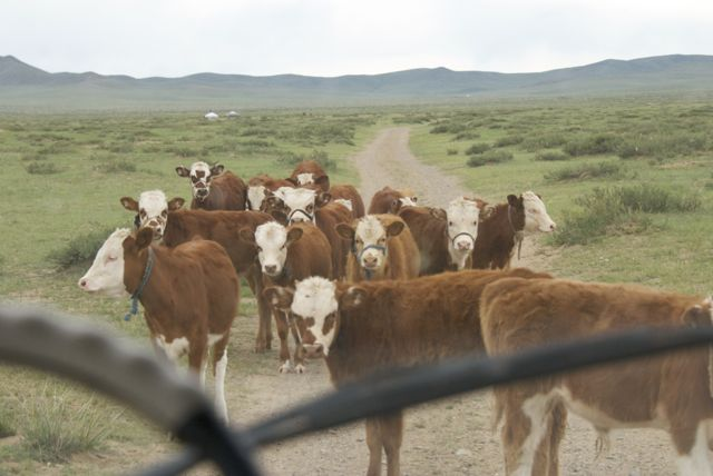 Just one of those things you encounter on the road in Mongolia, local livestock