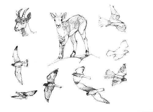 Siberian ibex and lesser kestrels