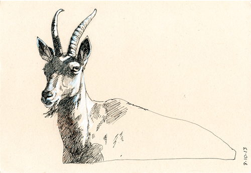 Siberian ibex, Annigoni toned paper, Sakura Micron pen and white gouache